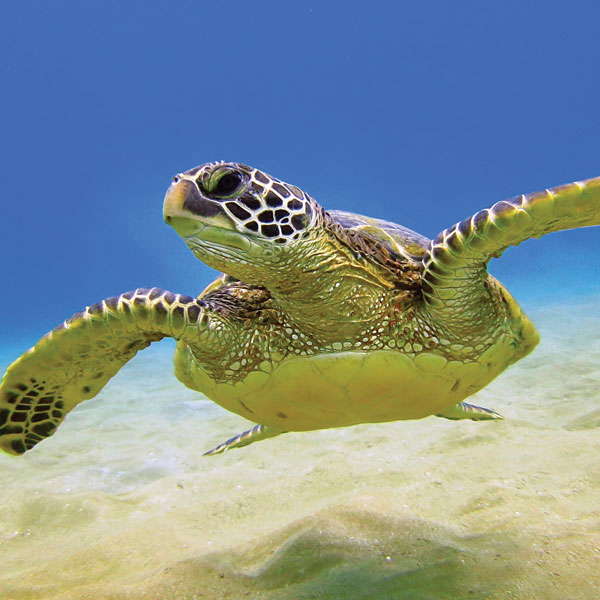 loggerhead sea turtle swimming underwater