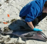 Study Points to Causes of Dolphin Deaths in Gulf of Mexico