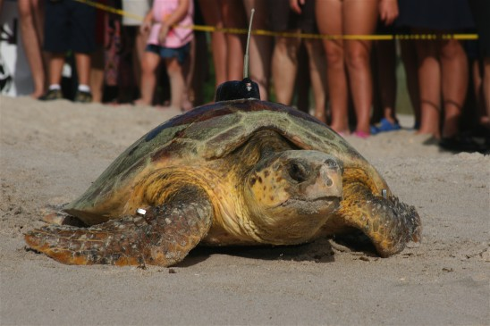 New Turtle Tracking Technique May Aid Efforts to Save Loggerheads