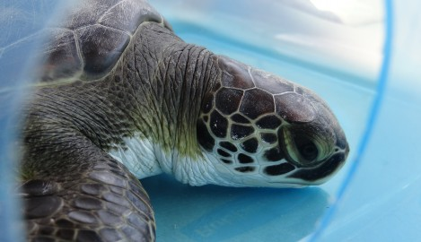 UCF's Mansfield Keynote Speaker at International Sea Turtle Symposium