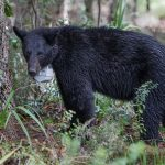 UCF Bear Brigade to Teach Ecological Concepts to Elementary Students
