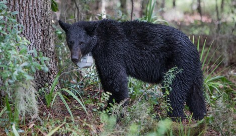 Bear Brigade to Teach Ecological Concepts to Elementary Students