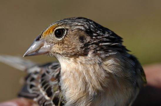 Endangered Tiny Bird Has Big Ally in UCF