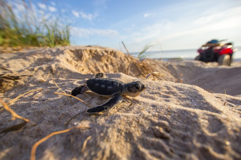 baby sea turtle on sand by ocean