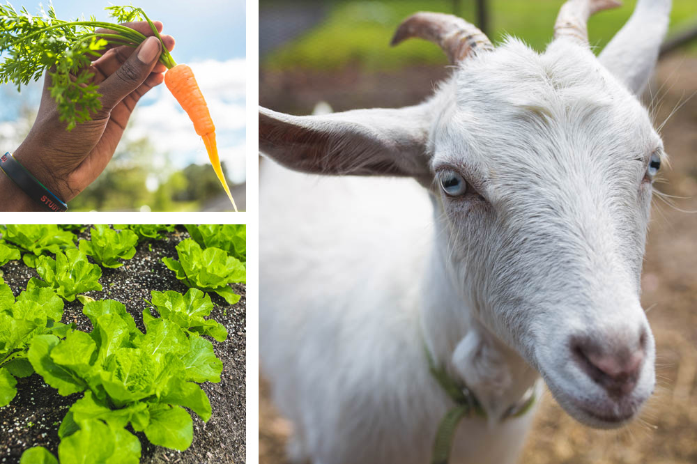 Three images: one of a baby carrot recently pulled from the ground, another is of a row of green leafs in the soil and the third is a white goat with blue eyes