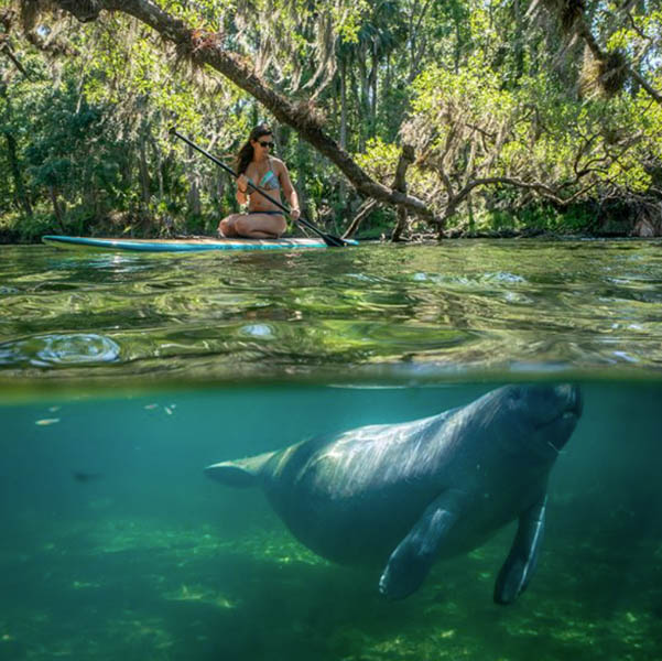 woman on paddle board at Blue Spring State Park - underwater you can see a manatee