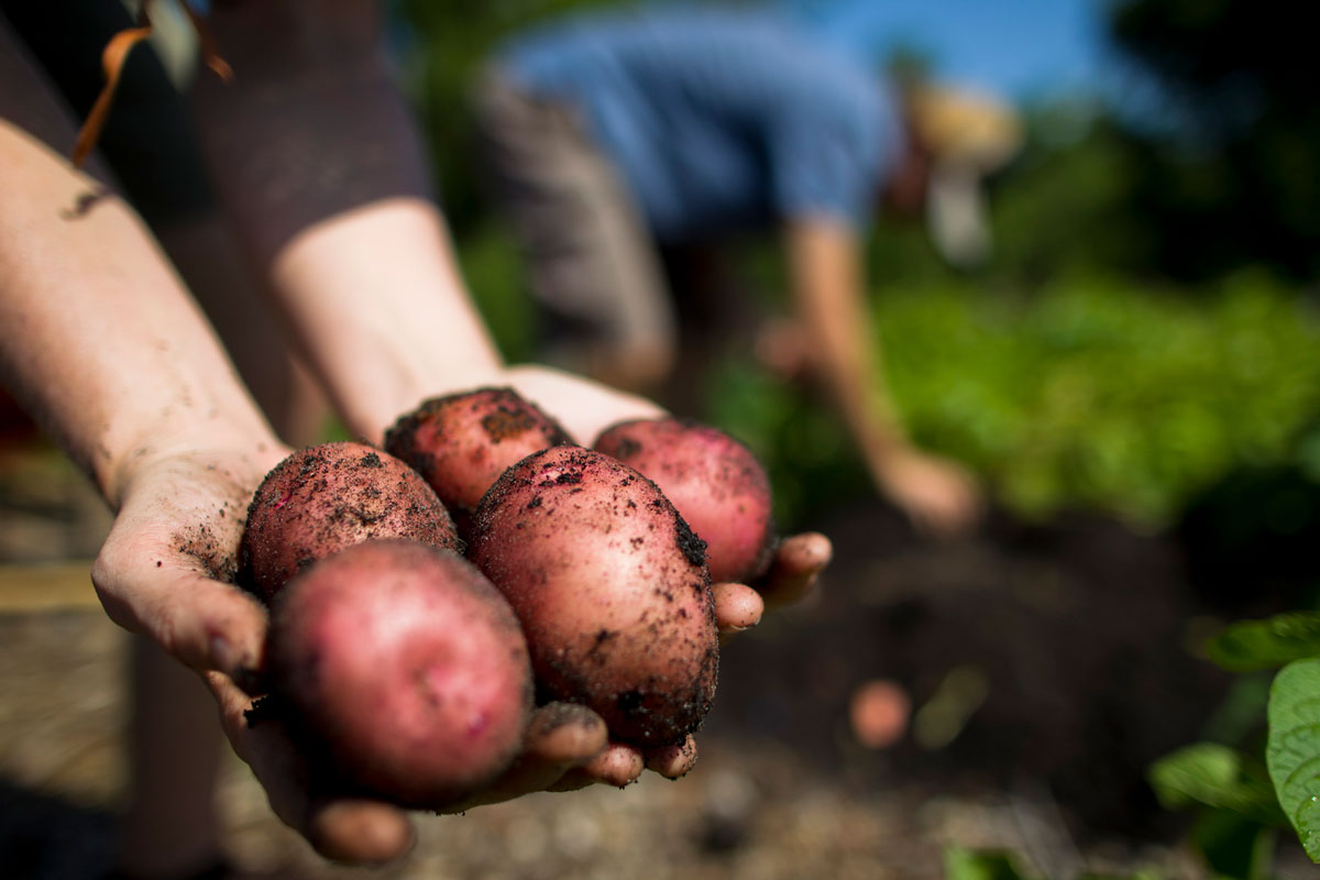 close up of hands holding five red potatoes in a garden