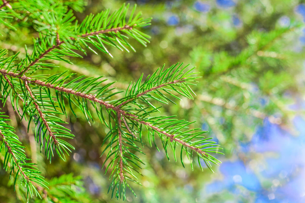 Close up of a spruce pine branch