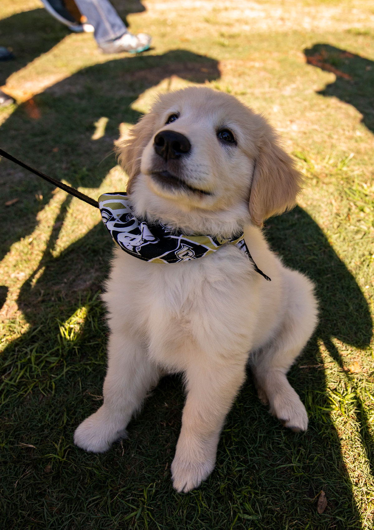 Golden Retriever puppy wearing a black and gold bandana looks up