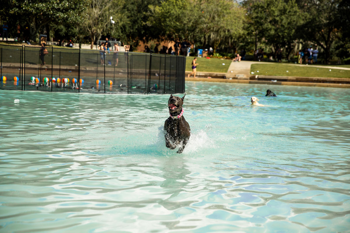 black dog jumping through a pond and two other dogs swimming behind him