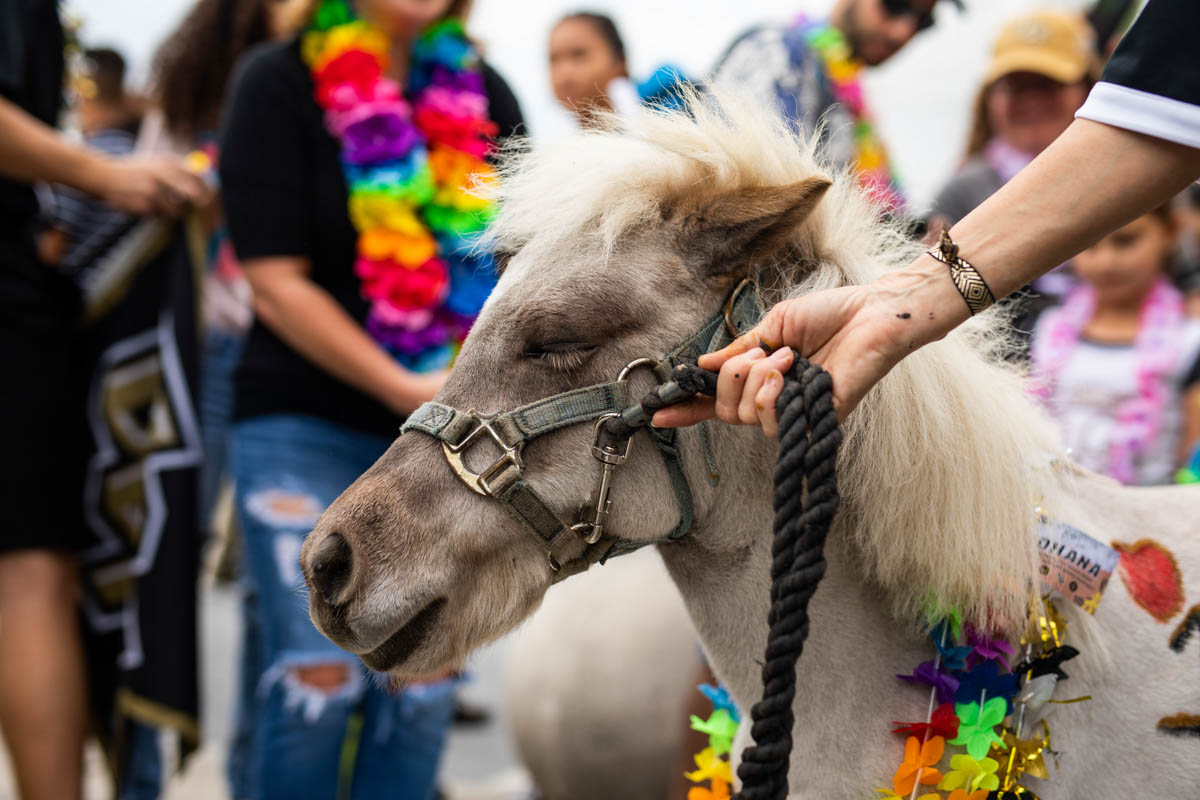 After joining Knight Nation this football season, Knugget the mini horse makes an appearance at the American Athletic Conference Championship game, during which fans wore leis to show their support for injured quarterback McKenzie Milton.