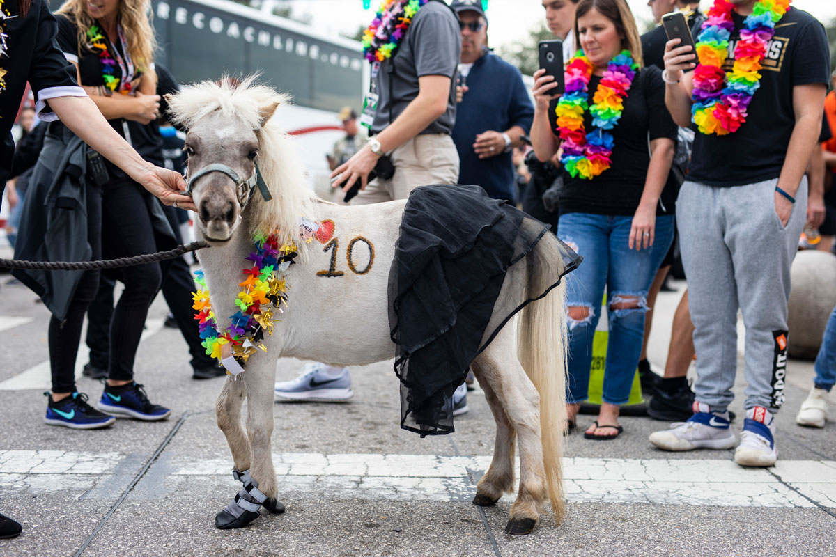 A white mini horse wears a colorful lei and has the number 10 etched on his torso in black ink