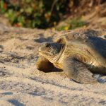 UCF Researchers Investigate New Lead in Mysterious Sea Turtle Disease