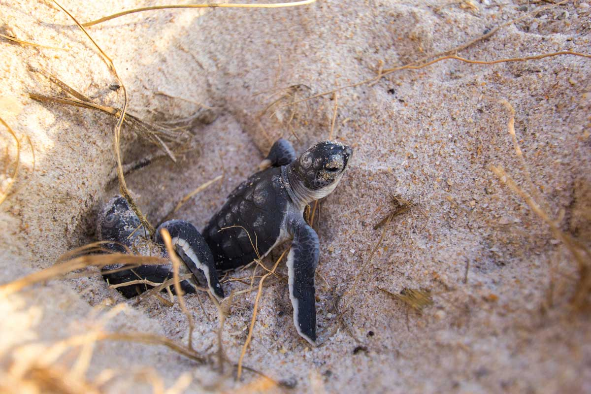 small turtle climbs out of nest in sand