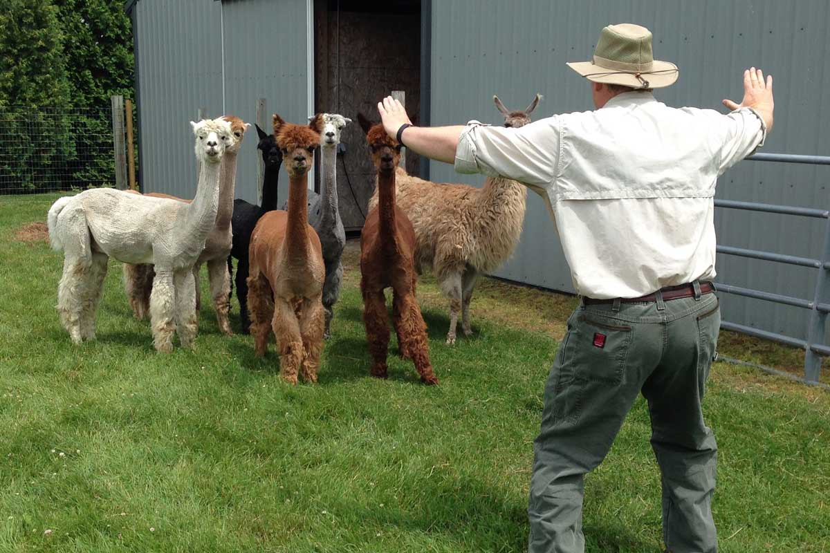 Man wearing straw hat holds his arms out in the air in front of a group of alpacas