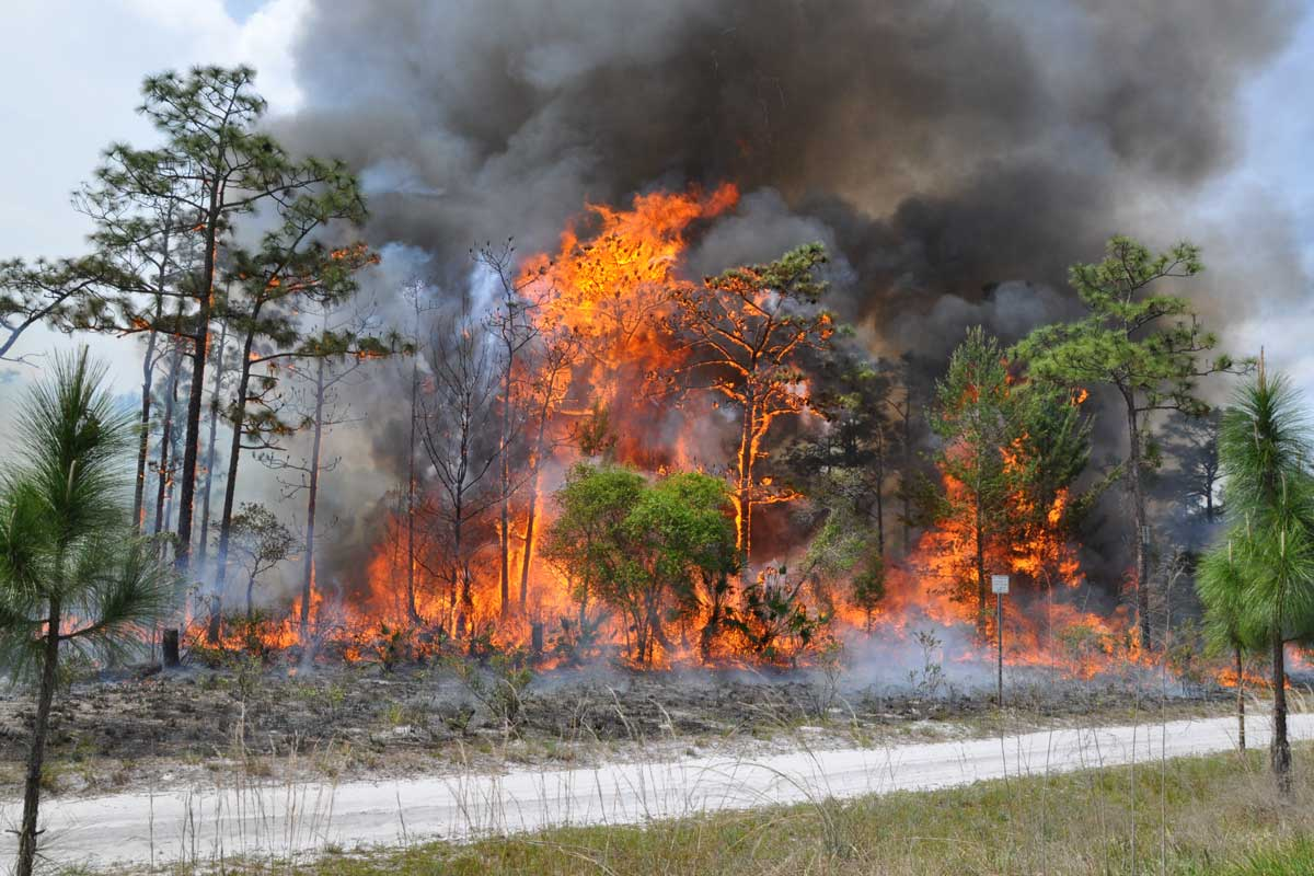 large fire and smoke engulf pine trees
