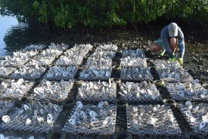 Oyster Reef Restoration Efforts Get Help from Potato Chip Byproduct