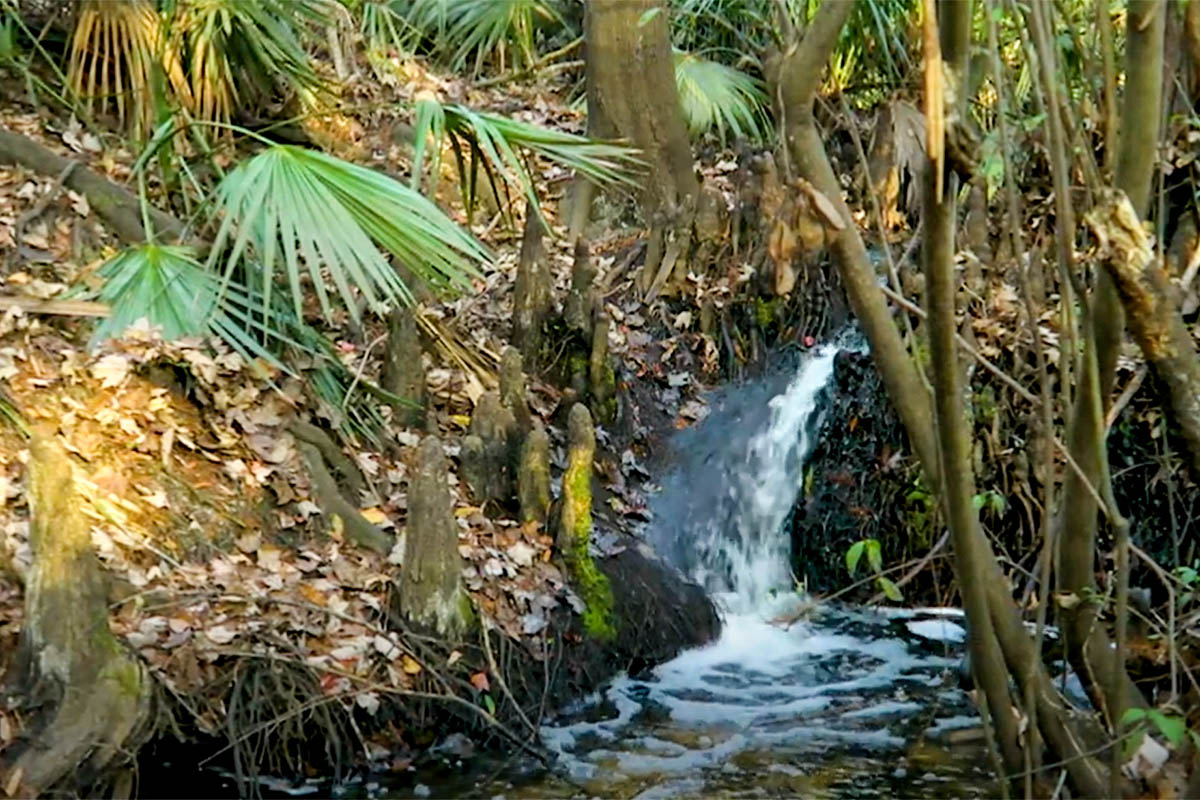 small waterfall flows over Cypress tree roots