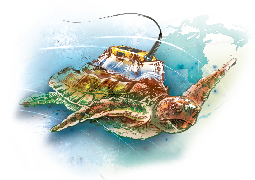 A tag was adhered to each turtle's carapace (shell) using a flexible neoprene-acrylic–silicone attachment.