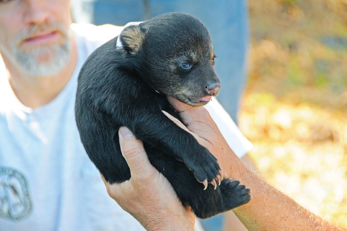 Researchers measure a black bear cub, about 6 weeks old, taken from a den at Rock Springs Run Reserve as part of a study supervised by the Florida Fish and Wildlife Conservation Commission.