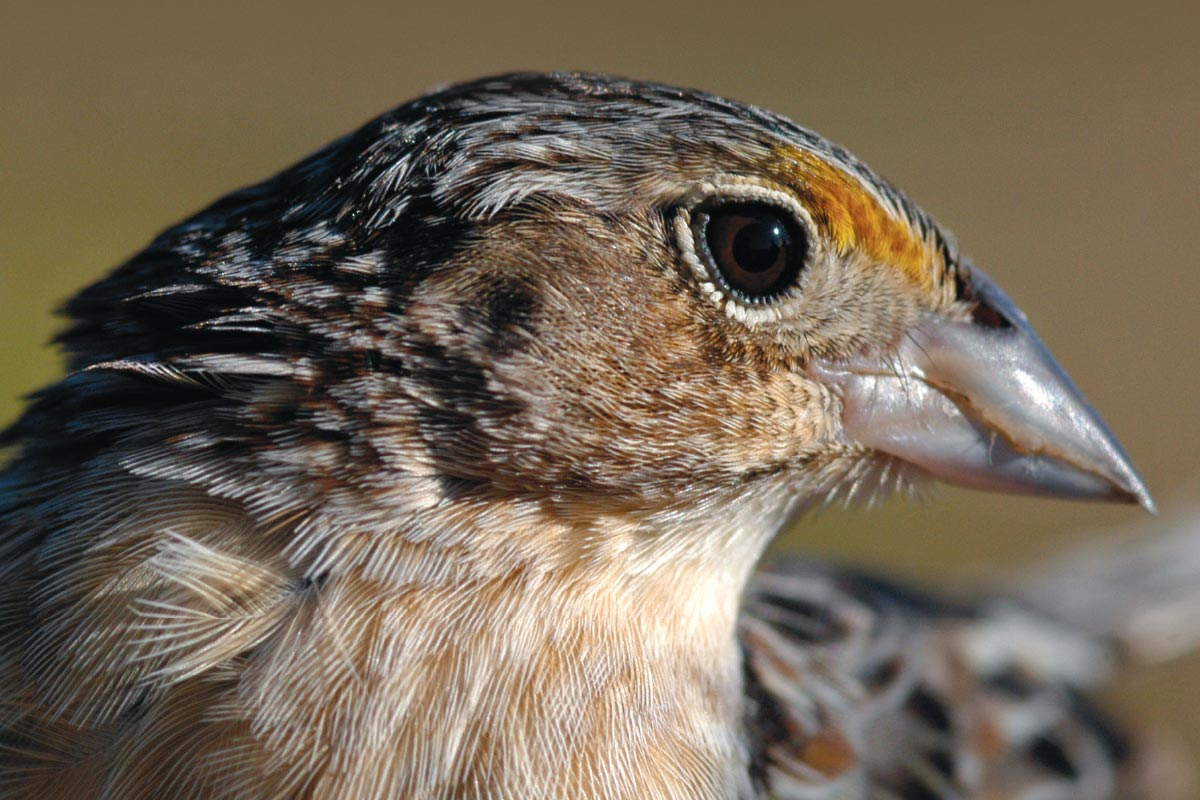 Endangered Grasshopper Sparrow
