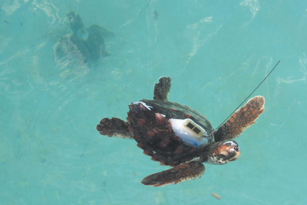 A young sea turtle swims with the ocean with a tracking device attached to its device