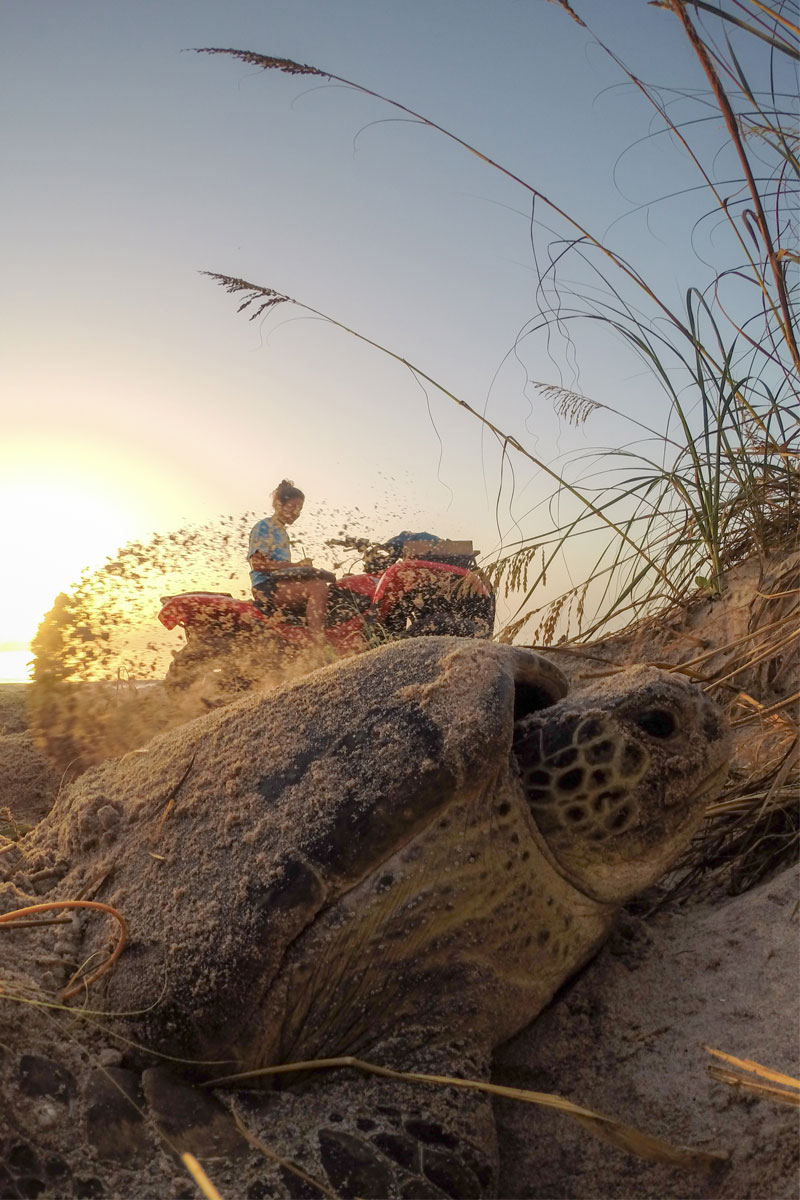 A UCF researcher waits in the background as a turtle covers some recently laid eggs with sand