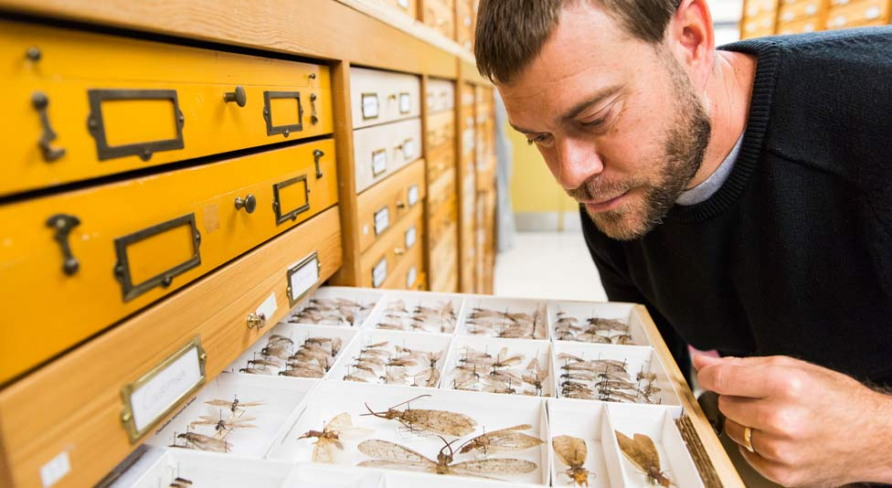 Shawn Kelly looking at insects stored in a drawer cabinet