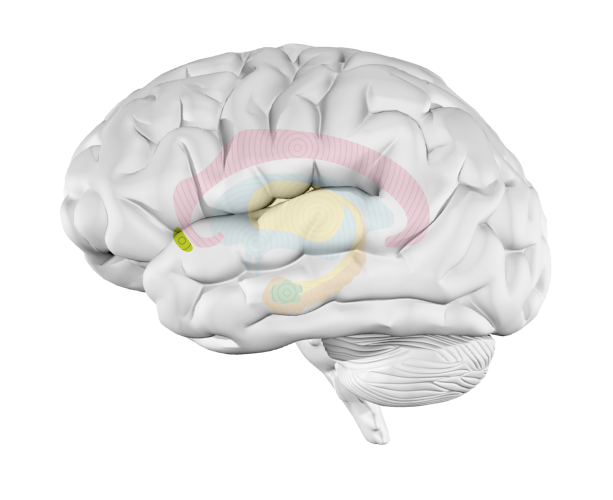 Music and the brain what happens when youre listening to music nucleus accumbens ccuart Image collections
