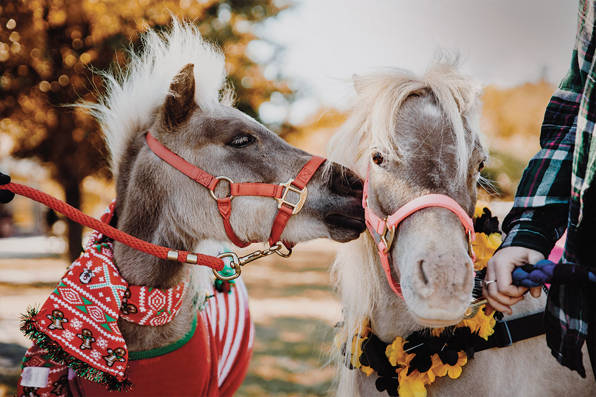 Two mini horses boop noses