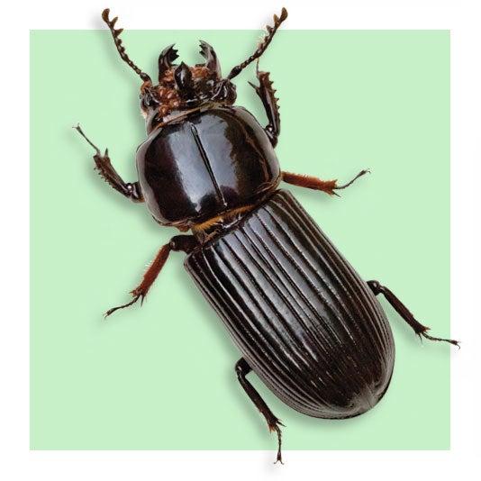Bess Beetle