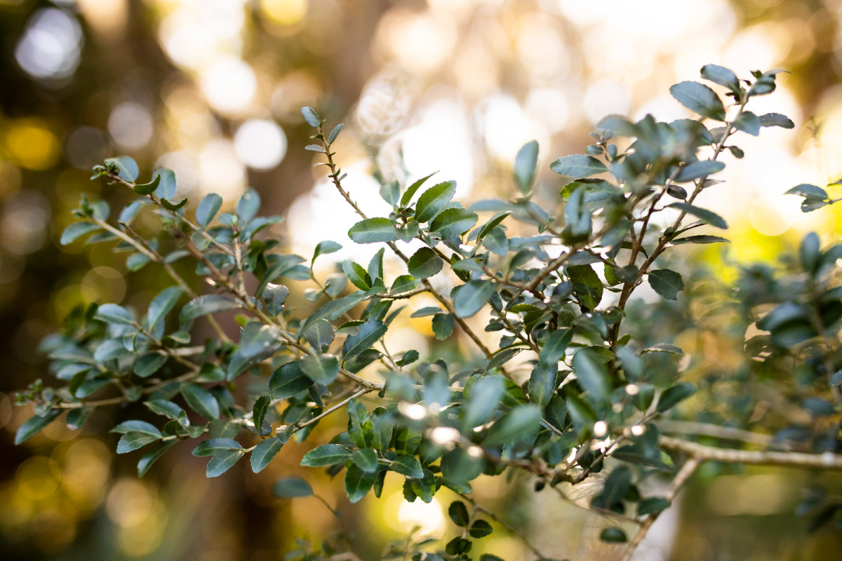 Green leaves on a branch.